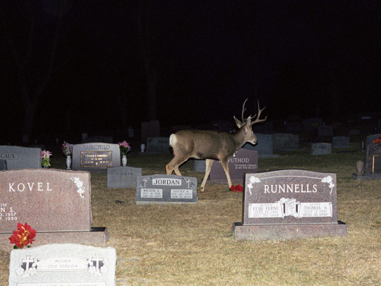A photograph at night of a deer at a cemetary